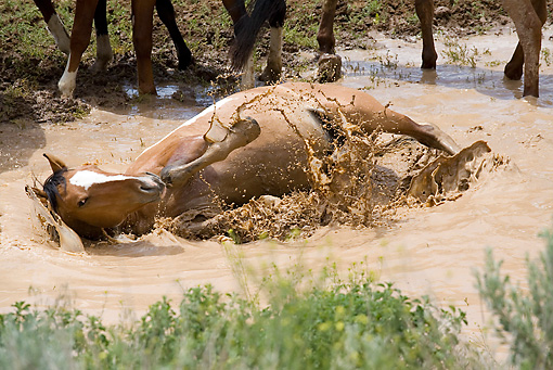 HOR 01 RD0002 01 © Kimball Stock Mustang Stallion Rolling In Muddy Water