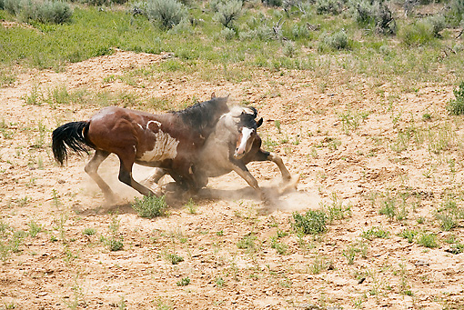 HOR 01 RD0003 01 © Kimball Stock Mustang Stallions Sparring In Field