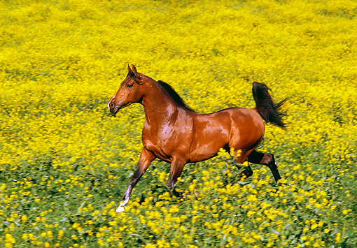 HOR 01 RK0050 01 © Kimball Stock Bay Stallion Cantering In Yellow Flower Field