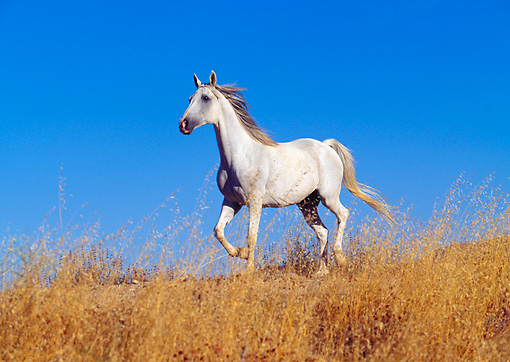 HOR 01 RK0101 02 © Kimball Stock Gray Arabian Horse Trotting On Dry Grass Blue Sky