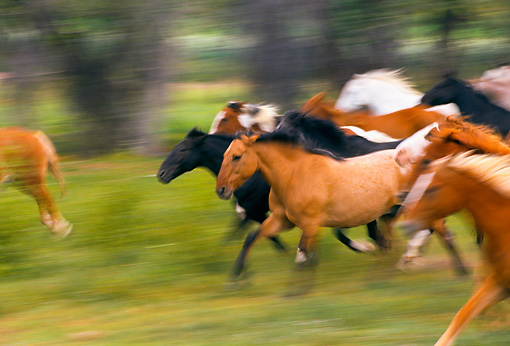 HOR 01 RK0138 07 © Kimball Stock Blurry Profile Of A Herd Of Horses Galloping On Grass