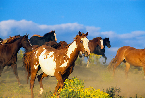 HOR 01 RK0161 12 © Kimball Stock Herd of Horses