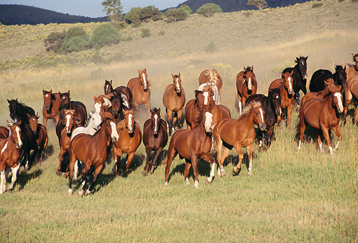 HOR 01 RK0169 01 © Kimball Stock Herd of Horses