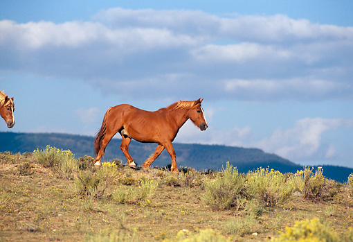 HOR 01 RK0245 01 © Kimball Stock Profile Shot Of Single Horse Trotting On Field Of Bushes Mountains In Background Blue Cloudy Sky