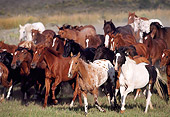 HOR 01 RK0276 05 © Kimball Stock Herd Of Horses Galloping Together On Grass