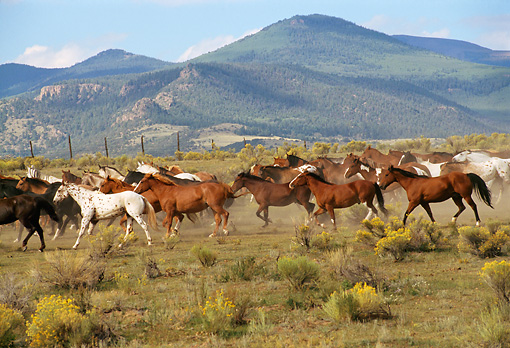 HOR 01 RK0282 01 © Kimball Stock Profile Shot Of A Herd Of Horses Trotting On Dirt Field With Bushes Mountain Background