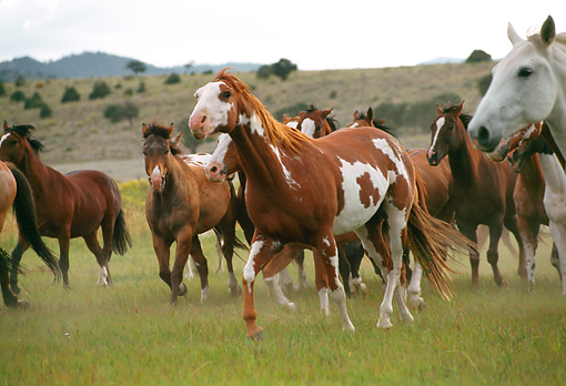 HOR 01 RK0349 01 © Kimball Stock A Herd Of Horses Galloping On Grass Mountain Background