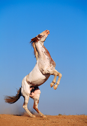 HOR 01 RK0503 43 © Kimball Stock Profile Shot Of Pinto Horse Rearing On Dirt Blue Sky