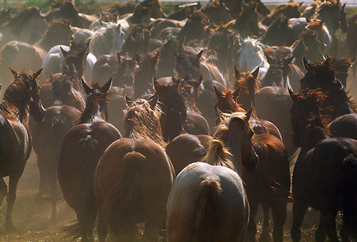 HOR 01 RK0529 05 © Kimball Stock Herd of Horses Galloping