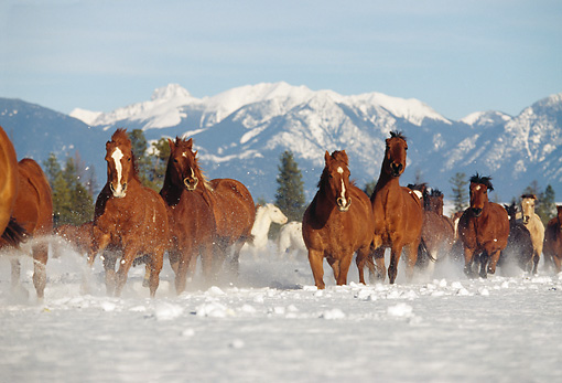 HOR 01 RK0601 42 © Kimball Stock Herd of Horses Galloping Together On Snow Mountains Trees Blue Sky