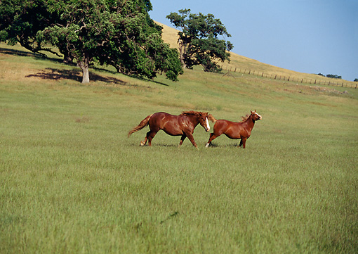 HOR 01 RK0618 10 © Kimball Stock Arabian And Belgian Horses Galloping On Green Pasture