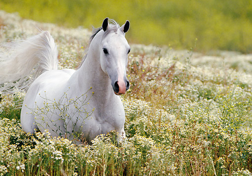HOR 01 RK0631 04 © Kimball Stock White Arabian Stallion Cantering Through Tall Bushes