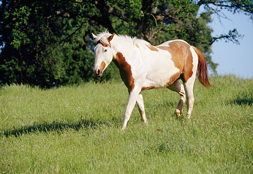 HOR 01 RK0646 06 © Kimball Stock Pinto Horse On Grass