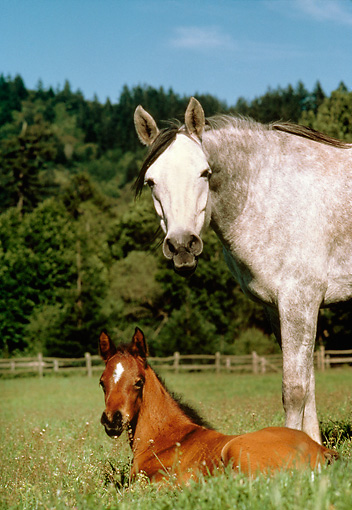HOR 01 RK0730 01 © Kimball Stock Gray Mare Standing Over Bay Foal Laying In Pasture Trees Blue Sky