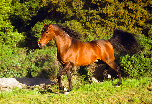 HOR 01 RK0868 05 © Kimball Stock Bay Stallion Trotting On Pasture By Bushes