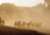 HOR 01 RK0892 06 © Kimball Stock Herd of Horses Galloping In Dust