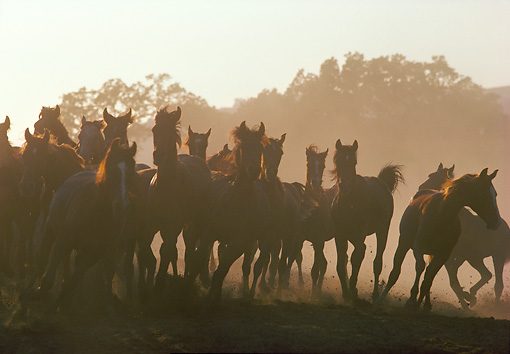 HOR 01 RK0892 07 © Kimball Stock Herd of Horses Galloping In Dust