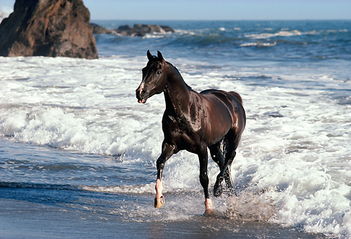 HOR 01 RK0903 37 © Kimball Stock Black Stallion On Wet Sand At Beach By Cliffs