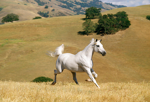 HOR 01 RK0953 18 © Kimball Stock White Stallion Galloping On Pasture By Hills
