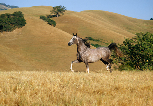 HOR 01 RK0956 40 © Kimball Stock Dapple Gray Arabian Stallion Running In Field By Hills