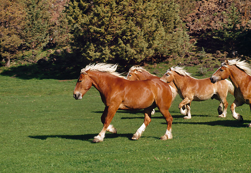 HOR 01 RK1006 10 © Kimball Stock Herd of Belgian Horses Galloping On Grass By Trees
