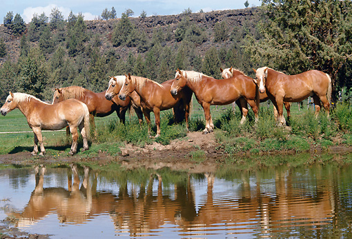 HOR 01 RK1022 03 © Kimball Stock Herd Of Belgian Horses Standing By Water With Reflection
