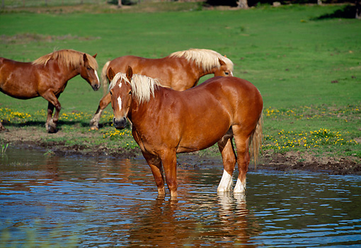 HOR 01 RK1025 01 © Kimball Stock Herd of Belgian Horses Standing And Drinking Water