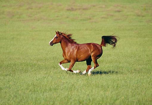 HOR 01 RK1121 11 © Kimball Stock Arabian Mare Galloping On Pasture