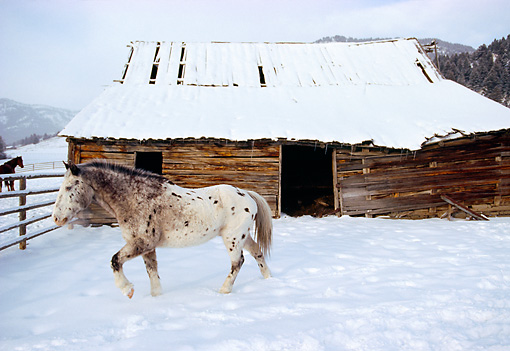 HOR 01 RK1172 08 © Kimball Stock White And Brown Horse Standing On Snow By Barn