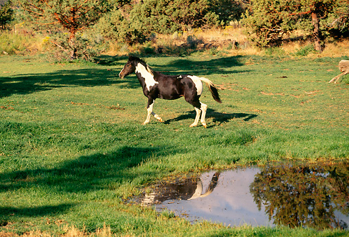 HOR 01 RK1243 02 © Kimball Stock Black And White Paint Horse Trotting By Pond