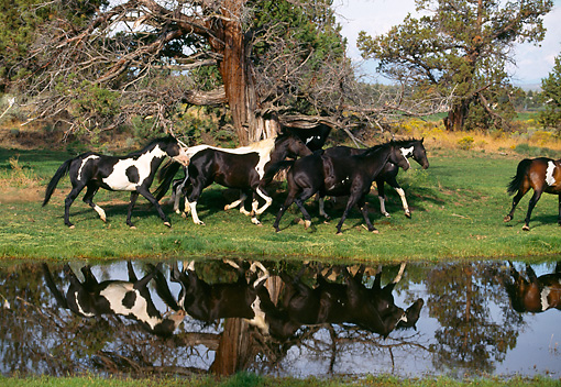 HOR 01 RK1258 39 © Kimball Stock Herd of Painted Horses Galloping On Grass By Water And Trees
