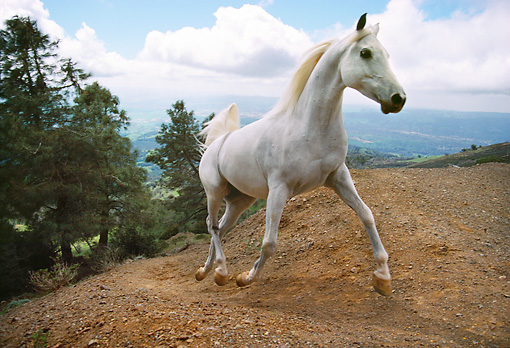 HOR 01 RK1330 27 © Kimball Stock White Stallion Galloping On Dirt Hill By Trees