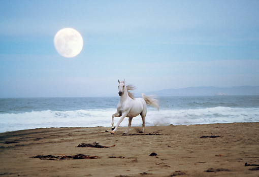HOR 01 RK1419 01 © Kimball Stock White Horse Galloping On Beach With Full Moon By Special Effects Filtered