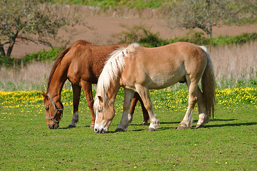 HOR 01 SJ0002 01 © Kimball Stock Two Horses Grazing In Pasture