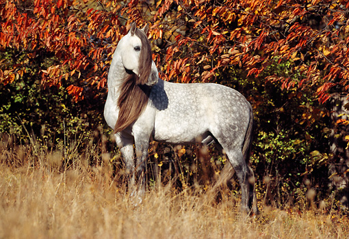 HOR 01 SS0001 01 © Kimball Stock Dapple Gray Andalusian Horse Standing In Pasture