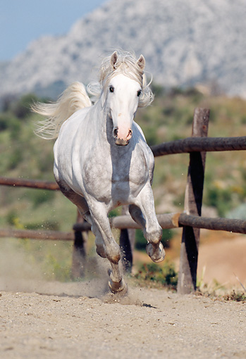 HOR 01 SS0005 01 © Kimball Stock Dapple Gray Andalusian Horse Galloping In Arena By Fence
