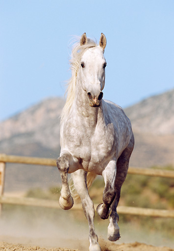 HOR 01 SS0006 01 © Kimball Stock Dapple Gray Andalusian Horse Galloping In Arena By Fence