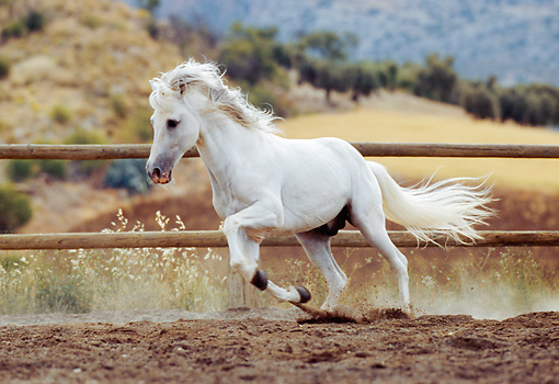 HOR 01 SS0008 01 © Kimball Stock Gray Andalusian Stallion Galloping In Arena By Fence