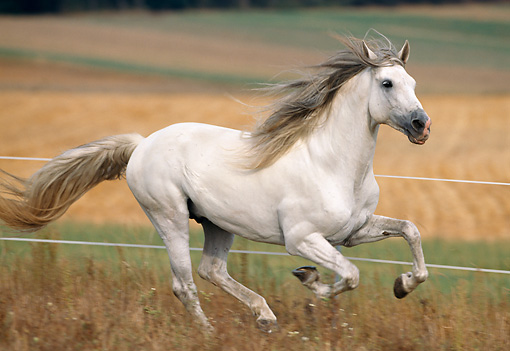 HOR 01 SS0009 01 © Kimball Stock Gray Andalusian Horse Galloping In Pasture By Fence