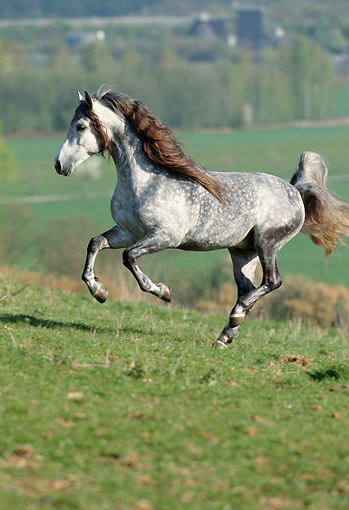HOR 01 SS0010 01 © Kimball Stock Dapple Gray Andalusian Horse Galloping In Pasture
