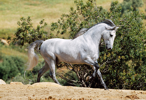 HOR 01 SS0014 01 © Kimball Stock Gray Andalusian Horse Cantering In Pasture