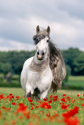 HOR 01 SS0015 01 © Kimball Stock Gray Andalusian Horse Trotting In Pasture Of Red Flowers