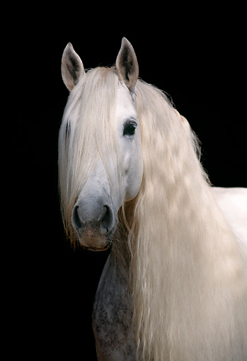 HOR 01 SS0020 01 © Kimball Stock Head Shot Of Gray Andalusian Horse