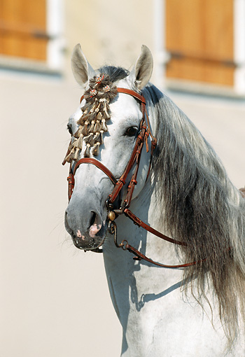 HOR 01 SS0021 01 © Kimball Stock Head Shot Of Gray Andalusian Horse Bridled
