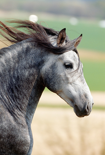 HOR 01 SS0022 01 © Kimball Stock Head Shot Of Dapple Gray Andalusian Horse Cantering