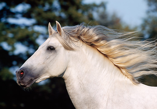 HOR 01 SS0023 01 © Kimball Stock Head Shot Of Gray Andalusian Horse Cantering