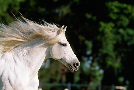 HOR 01 SS0024 01 © Kimball Stock Head Shot Of Gray Andalusian Horse Cantering