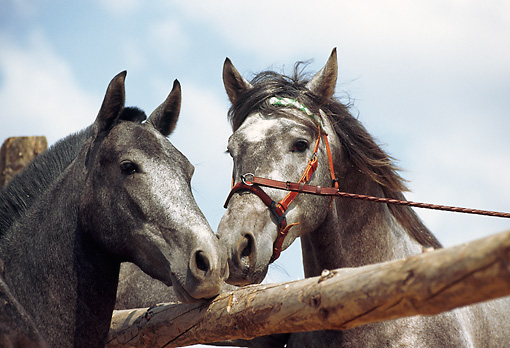 HOR 01 SS0026 01 © Kimball Stock Head Shot Of Two Gray Andalusian Horses Nuzzling Over Fence