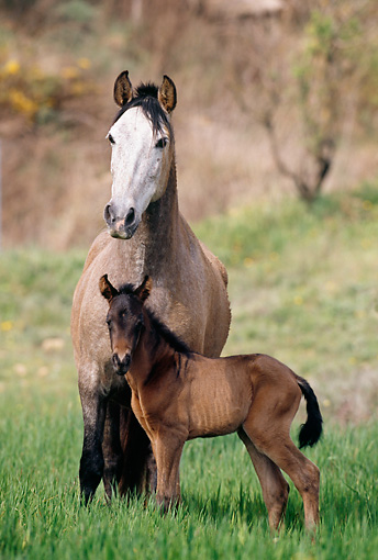 HOR 01 SS0027 01 © Kimball Stock Gray Andalusian Mare And Foal Standing In Pasture