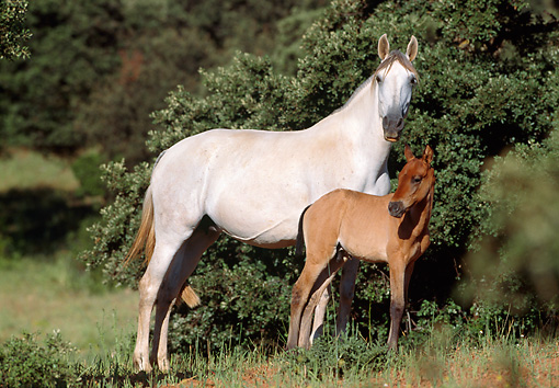 HOR 01 SS0028 01 © Kimball Stock Gray Andalusian Mare And Bay Foal Standing In Pasture